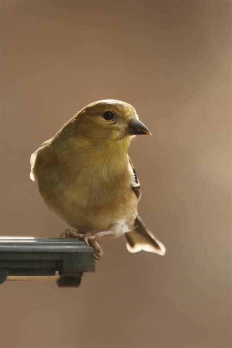 american goldfinch on feeder feederwatch