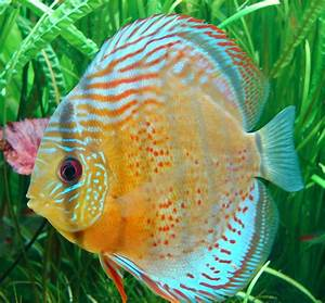 Blok888: Top 10 Most Beautiful Freshwater Fish in the world 1
