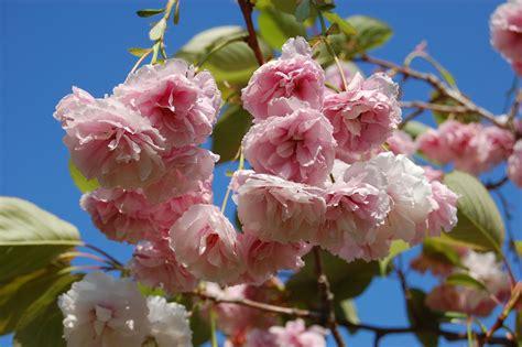 prunus flowering cherry prunus serrulata shirofugen flowering cherry leafland