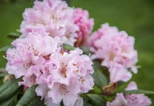 rhododendron when to plant rhododendron care tips on how to grow a rhododendron bush