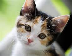 calico kittens with bl...Fluffy Dilute Calico Cat