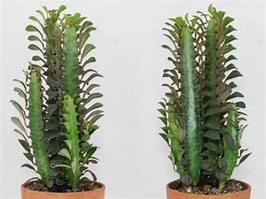 Euphorbia Trigona Vermehren : dreikantige wolfsmilch euphorbia trigona ~ Orissabook.com Haus und Dekorationen