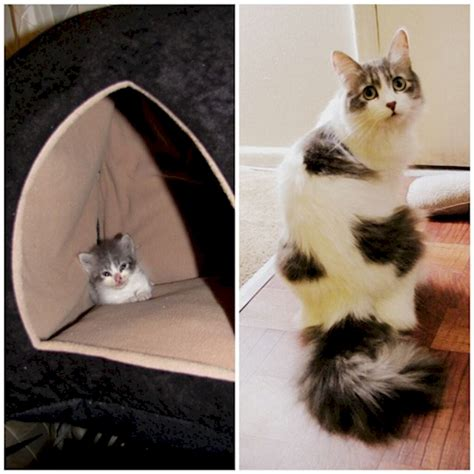 when are cats grown 16 adorable before after pics of kittens growing up too fast