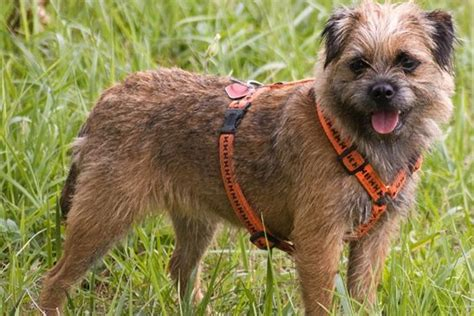 Border Terrier Non Shedding by Sheds Hypoallergenic Breed And On