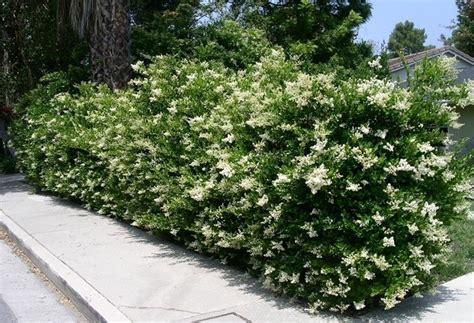 cespugli da giardino sempreverdi sempreverdi da giardino piante da giardino sempreverdi