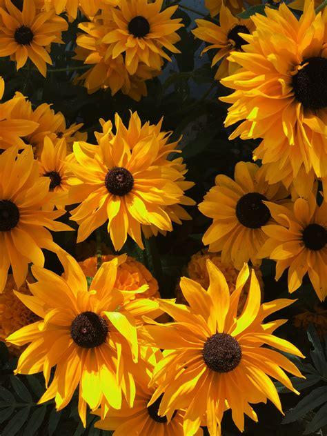 pinterest bunga matahari hd wallpaper