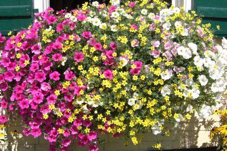 Balkonblumen Viel Sonne by Balkonblumen Viel Sonne Balkonblumen I Sommerblumen