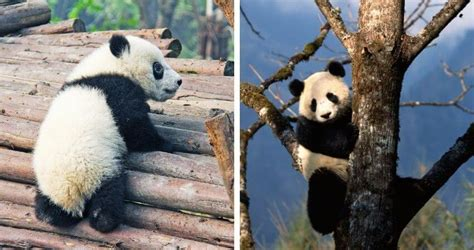 Top 11 Giant Panda Facts For Kids Funny Facts About Panda