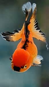 Black and Orange Goldfish