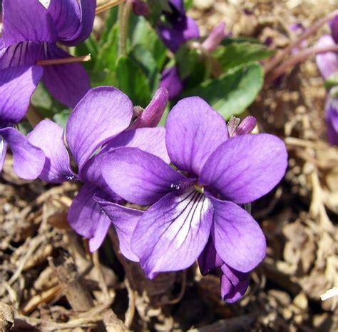 fiore viola viola fiore piante annuali fiore viola