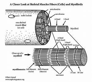 Muscle Fibers And Myofibrils