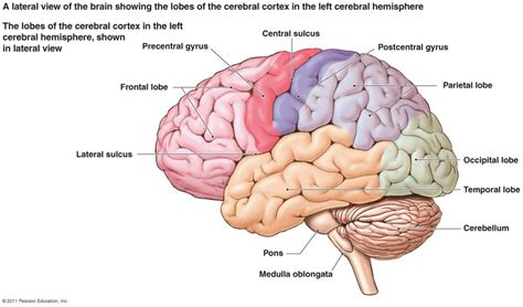 The Human Nervous System Label Simple Human Brain Diagram