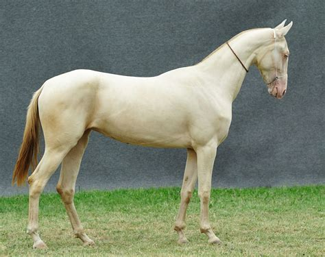 Akhal-teke Horses Of The Dacor Stud