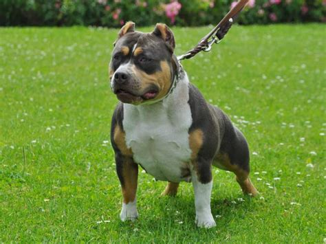 tri color pits the tri color american bully why it has an uncommon three
