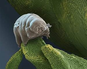 Tardigrades on moss as seen through the electron ...