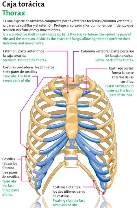 Único Anatomía De Brest Festooning - Anatomía de Las Imágenesdel ...