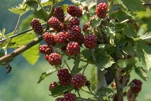 Wann Himbeeren Pflanzen : himbeeren pflanzen wichtige tipps f r eine pr chtigen ernte ~ Lizthompson.info Haus und Dekorationen