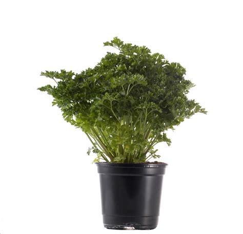 persil en pot entretien entretien persil en pot 28 images la coriandre les joyaux de sherazade des fines herbes