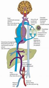 Fetal Circulation  The Placenta Serves As A Major Buffer
