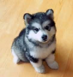 Big Dogs That Dont Shed Bad by Corgi Husky Mix On The Hunt