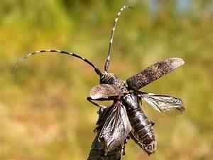Black Pine Sawyer Beetle (Monochamus galloprovincialis)