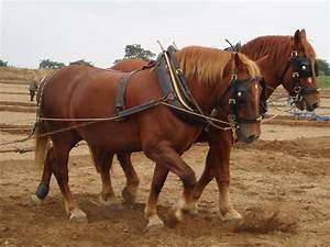 Suffolk Punch Pictures  Video  And Information