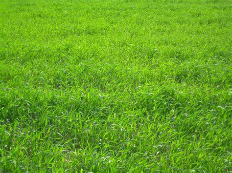 Planting Perennial Ryegrass