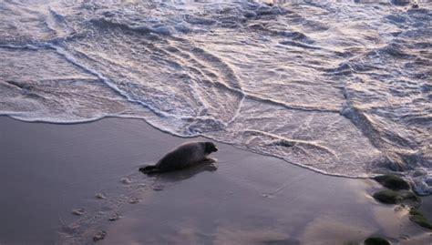 Pirmoreiz Latvijas piekrastē dzimis roņu mazulis ...