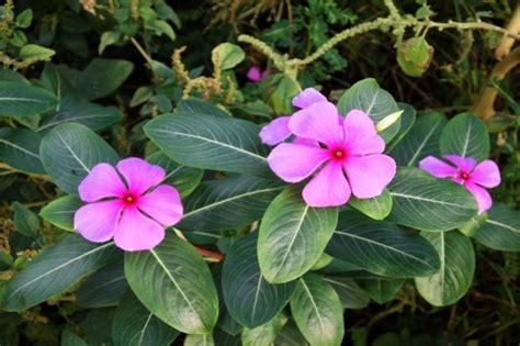 tips jitu merawat tanaman hias bunga tapak dara jitunewscom