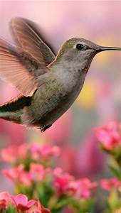 Wallpaper, Hummingbird, Flight, Wings, Pink, And, Purple