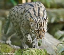 fish cat fishing cat international society for endangered cats