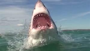Der Weiße Hai Das Raubtier der Meere in Südafrika