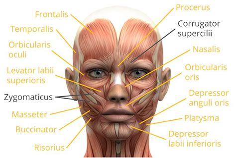 face muscles facial anatomy   muscles  facial