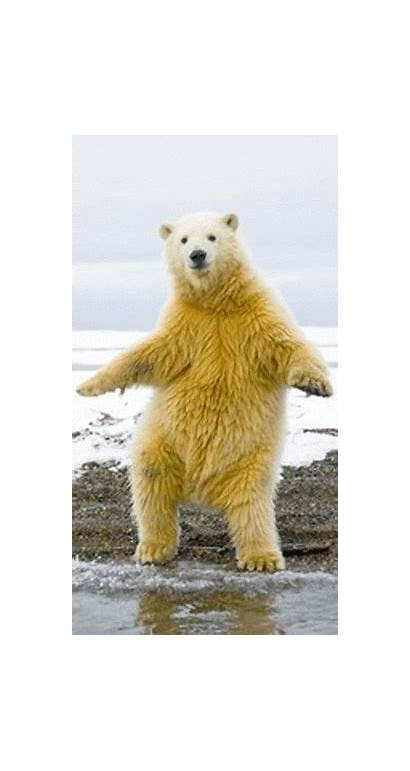 Bear Polar Dancing Animal Gifs Animated Animals