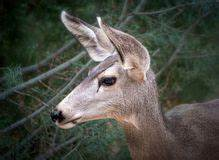 Deer Head Stock Images - Download 14,886 Royalty Free Photos