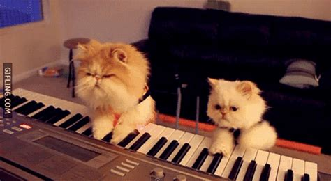 piano playing cats gifs find share  giphy