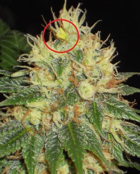 cannabis et hermaphrodisme du growshop alchimia