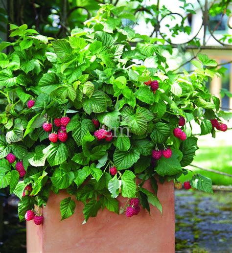 framboisier bushel and berry quot shortcake quot framboisier raspberries nos v 233 g 233 taux jardin2m