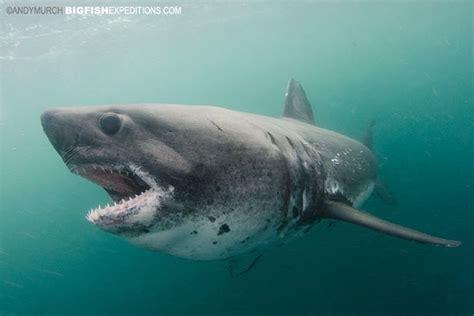 salmon shark valdez alaska salmon sharks occur