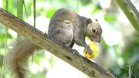 do squirrels like oranges plantain squirrel eating fruit youtube