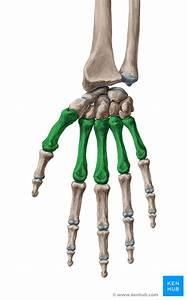Metacarpal Bones - Anatomy & Clinical Aspects | Kenhub