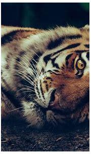 #4600337 #zoo, #wild, #cat, #safari, #animal, #big, # ...