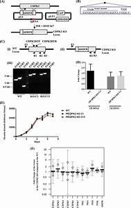 Disruption Of The Pfcdpk2 Gene Via Crispr  Cas9   A  The