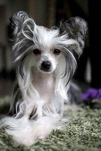 38 best images about Chinese Crested on Pinterest | Dog ...