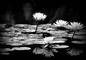Black And White Water Lily Photograph by Jose Medina