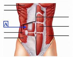 Myology  Axial Muscles  Abdominal Wall  U0026 Pelvic Floor