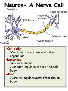 Nervous System - Presentation Biology