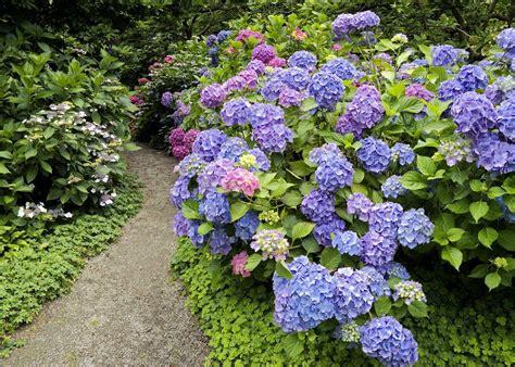 how to hydrangeas hydrangea popular ornamental plants the fancy flora