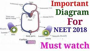 Body Fluids  U0026 Circulation   Important Diagram For Neet