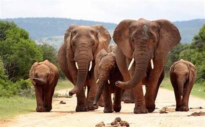 Elephant Animals Mammals 4k Animal Wallpapers Wildlife